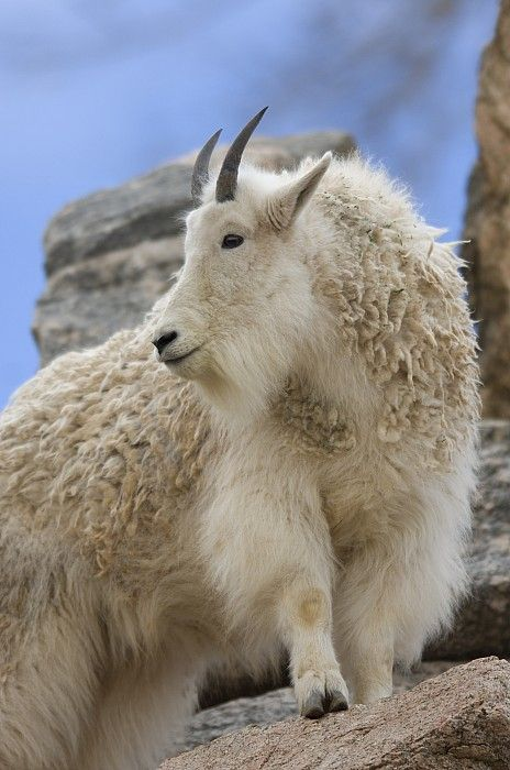 ~~ A Mountain Goat
