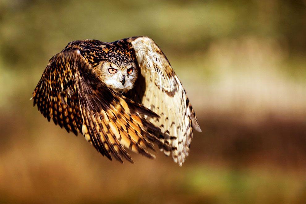 Eurasian eagle owl / Búho real (Bubo bubo)