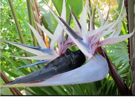 Blue White Bird Of Paradise Birds Of Paradise Plant Paradise Plant Birds Of Paradise
