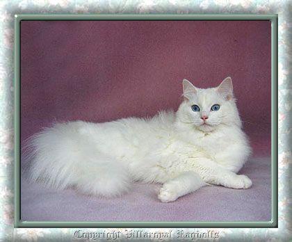 Ragdoll Kittens For Sale Near Me In 2020 Ragdoll Kittens For Sale Kitten For Sale Ragdoll Kitten