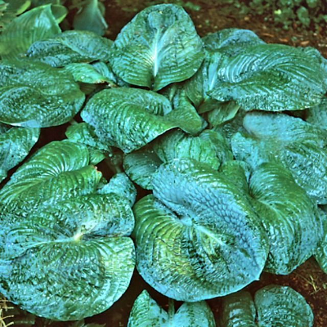 Hosta Blackjack - Shade Perennial Giant Green Hosta Plant