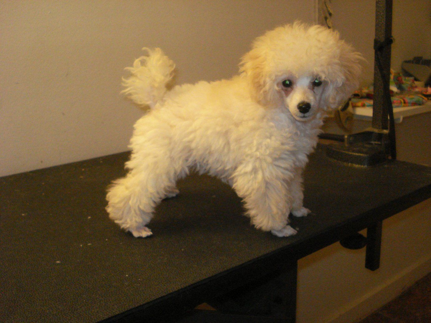 Toy Poodle Haircuts Ve Included A Before And A Few During