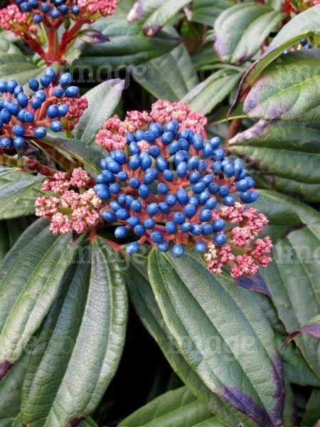 Viburnum davidii steel blue berries cluster and pink white flower viburnum davidii steel blue berries cluster and pink white flower buds in early spring mightylinksfo