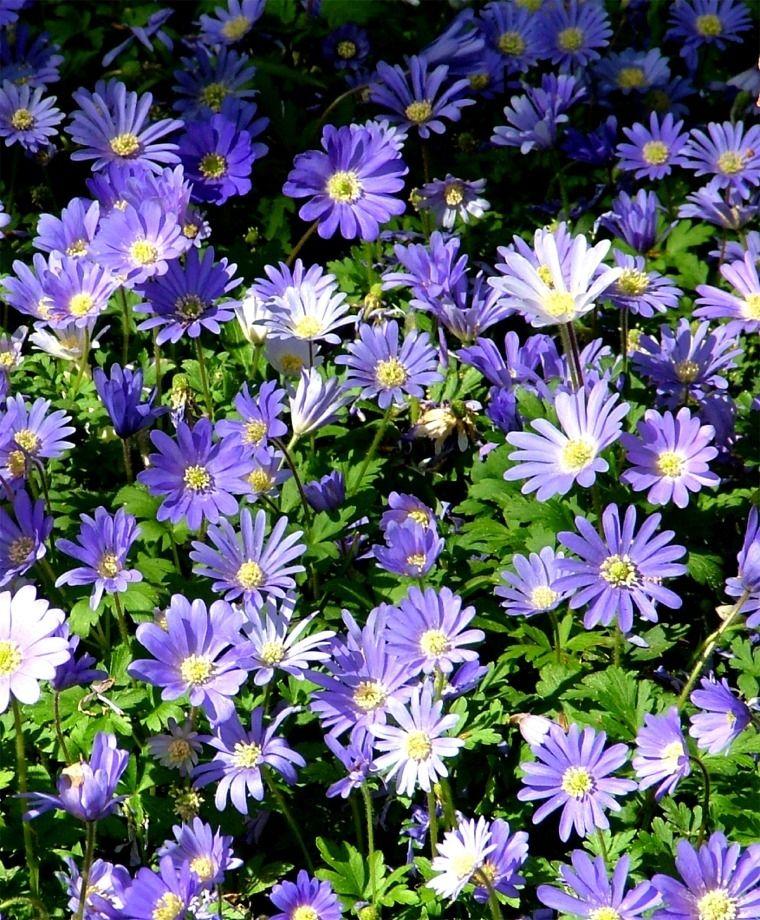 Anemone Blanda Blue Shades Anemone Blanda Flower Bulb Index Bulb Flowers Blue And Purple Flowers Anemone