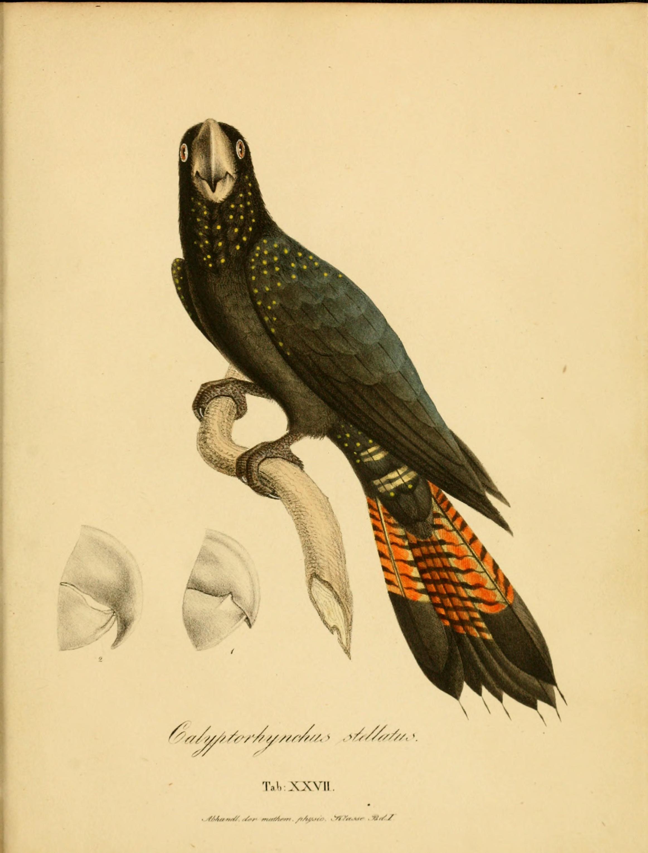 Monographia Psittacorum
