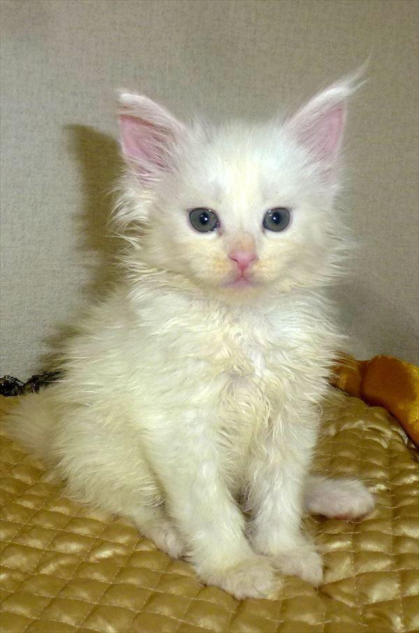 全国の厳選された猫ブリーダーさんのところで産まれたメインクーンの子猫たち このレベルでこの価格の子猫はペットショップにはそうはいません メインクーン 子猫 猫