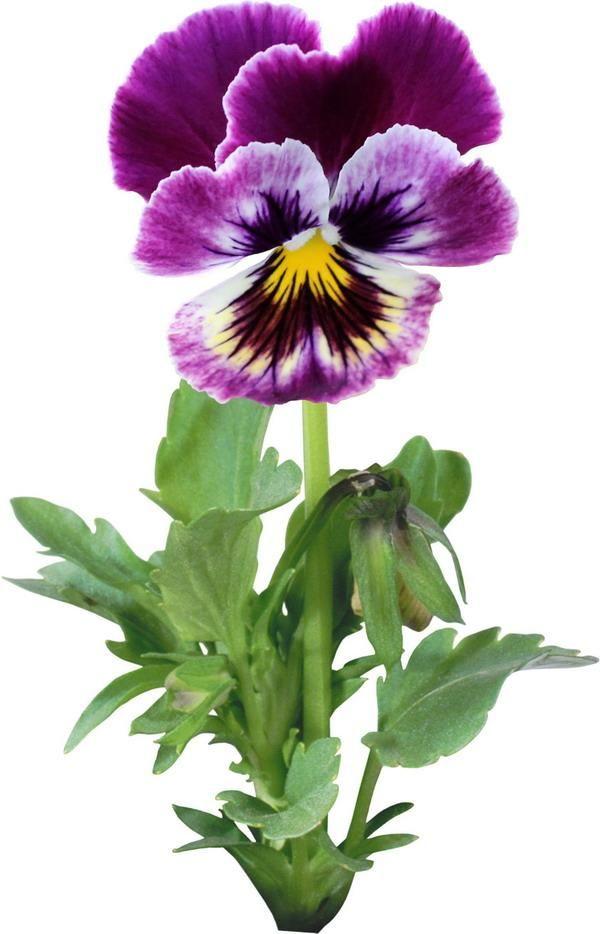 анютины глазки | Анютины глазки, Цветочные картины, Цветы