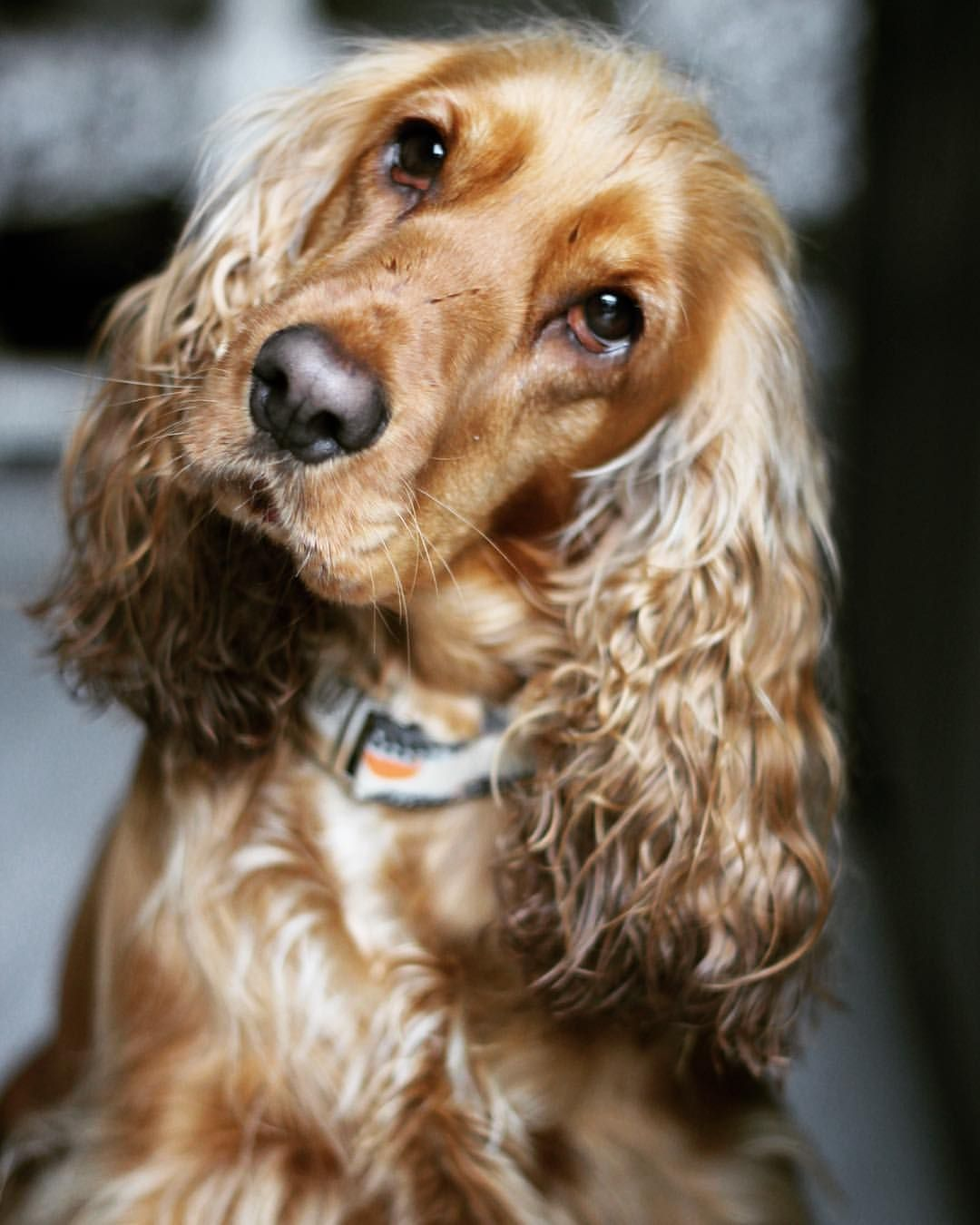 Mi Piace 176 Commenti 10 Prettylittleliv Su Instagram Am I Cute Dog Dogs Dogslove Puppy Puppies Dogsofinstag Dogs Cocker Spaniel Dog Puppies