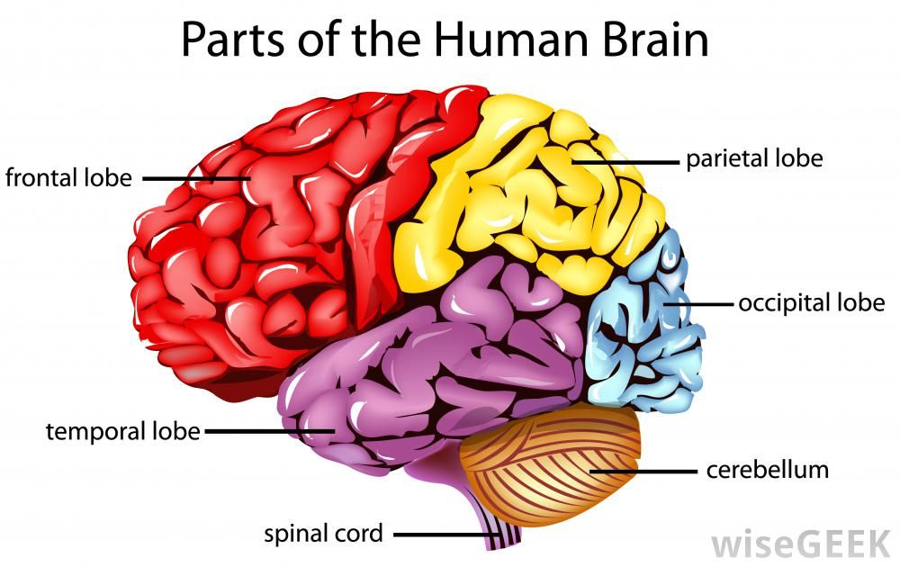 The Cerebrum Has Four Main Lobes Frontal Parietal Occipital And