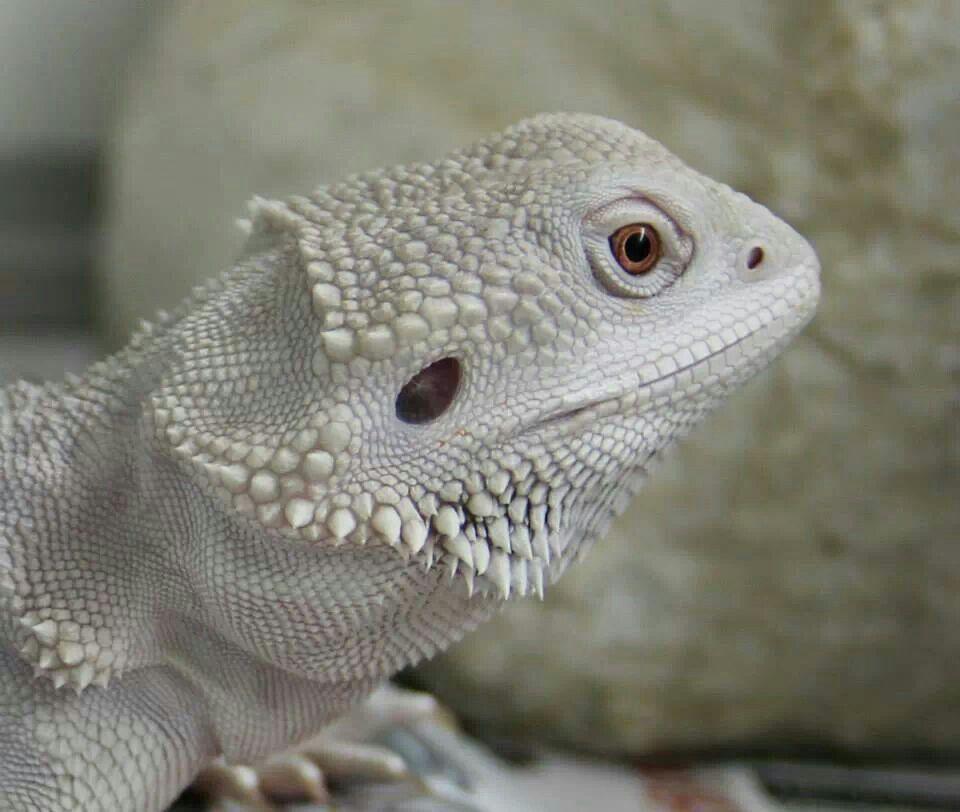 Rial Dragons | Bearded dragon, Cute little animals, Happy ...