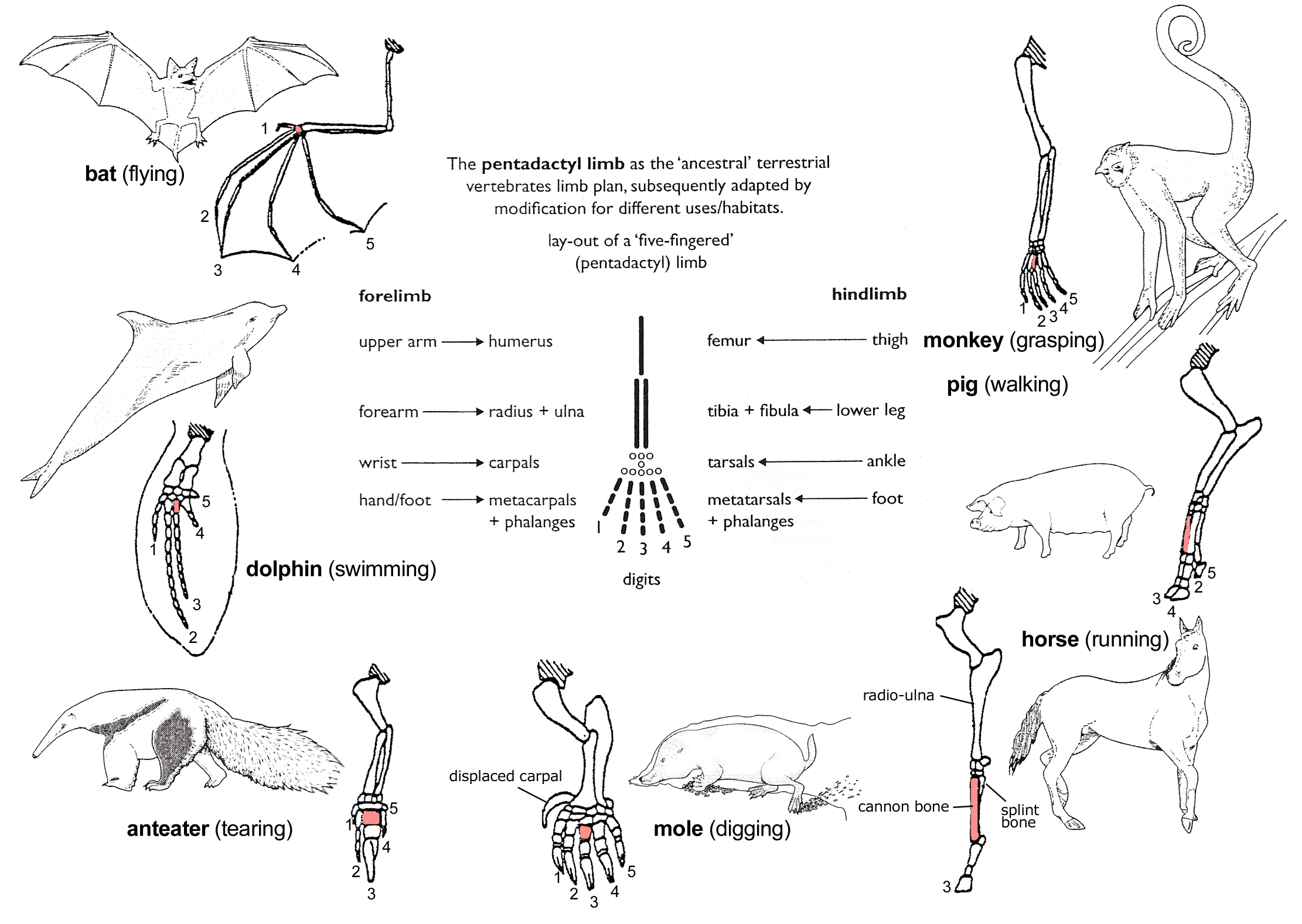pentadactyl limb plan passed onto and modified by future species ...