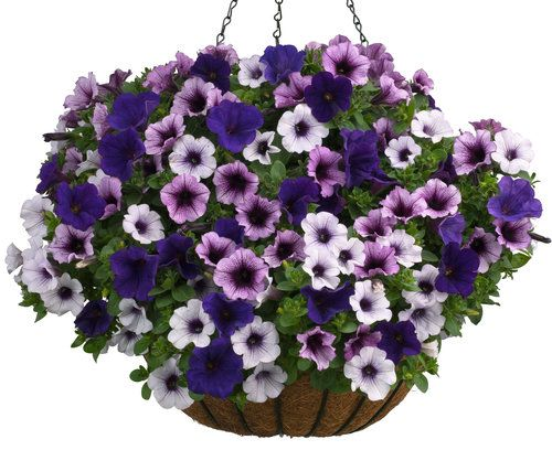 Clear Blue Sky Petunias Container Gardening Flowers Plants For Hanging Baskets