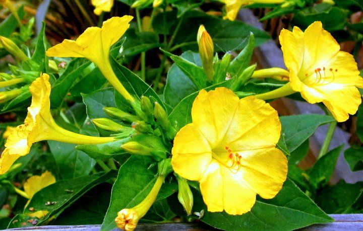 Four oclock flower or marvel of peru its latin name is