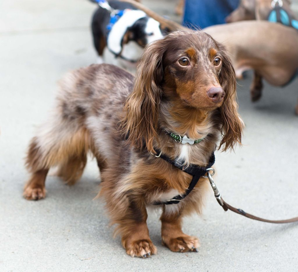 chocolate dapple long hair dachshund - Google Search | dachshund ...