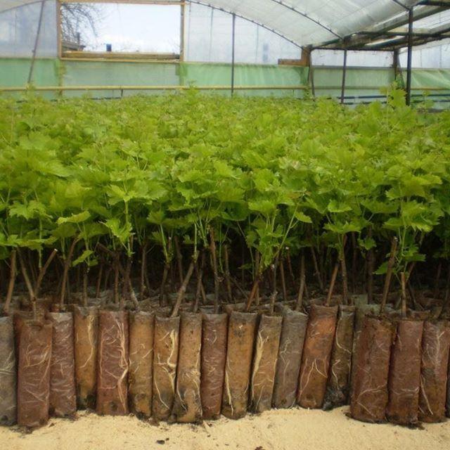 как вырастить из черенка смородины куст