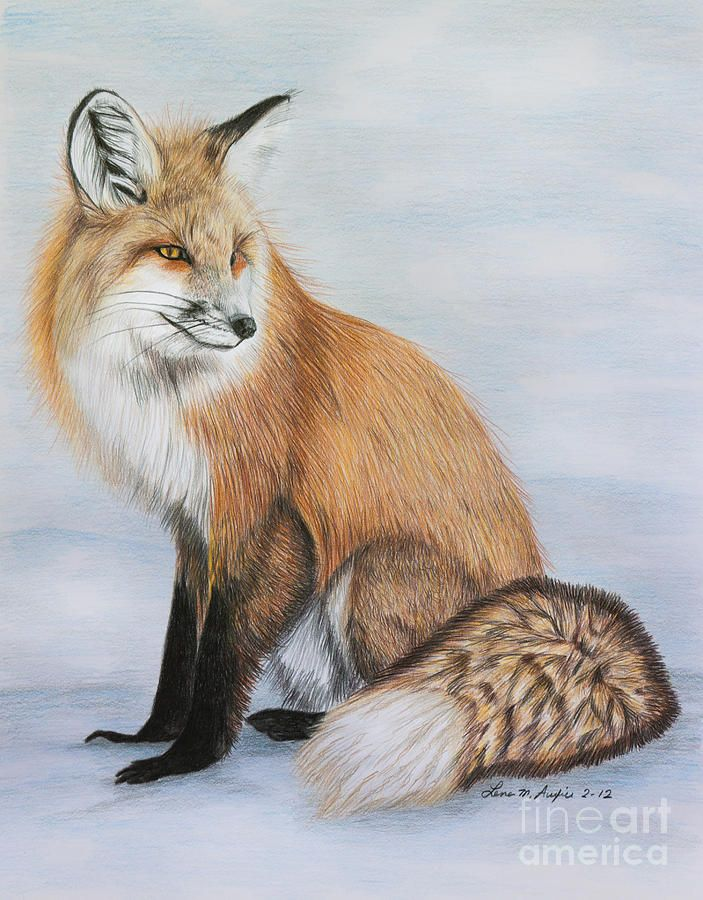 39 red fox 39 color pencil drawing by artist lena auxier for Cool fox drawings