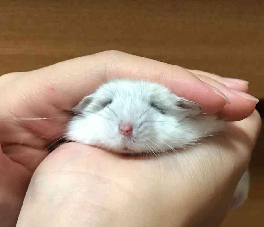 寝ちゃいそう Zzz 可愛すぎる動物 ペット かわいいハムスター