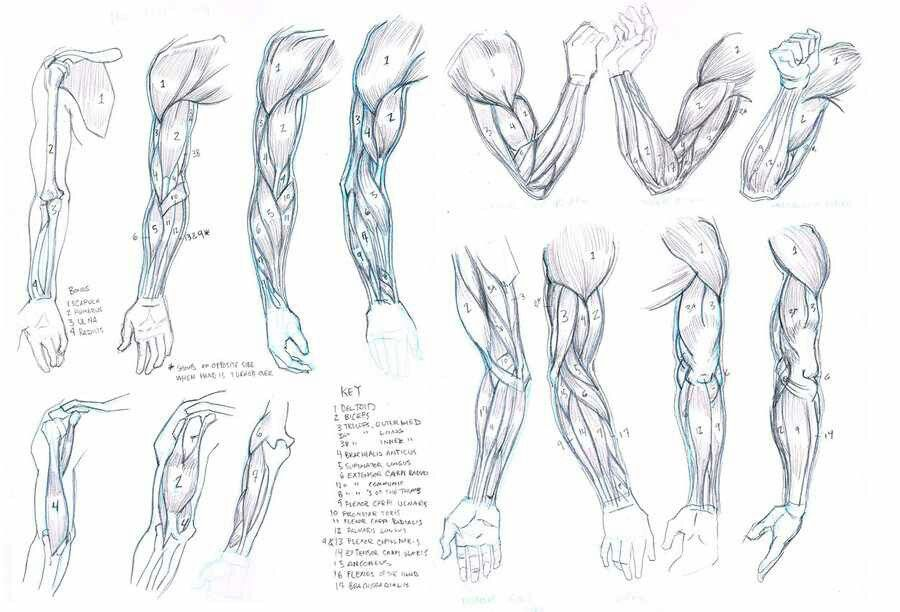 Pin by Lörd∞wörM on Anatomy examples | Pinterest | Anatomy