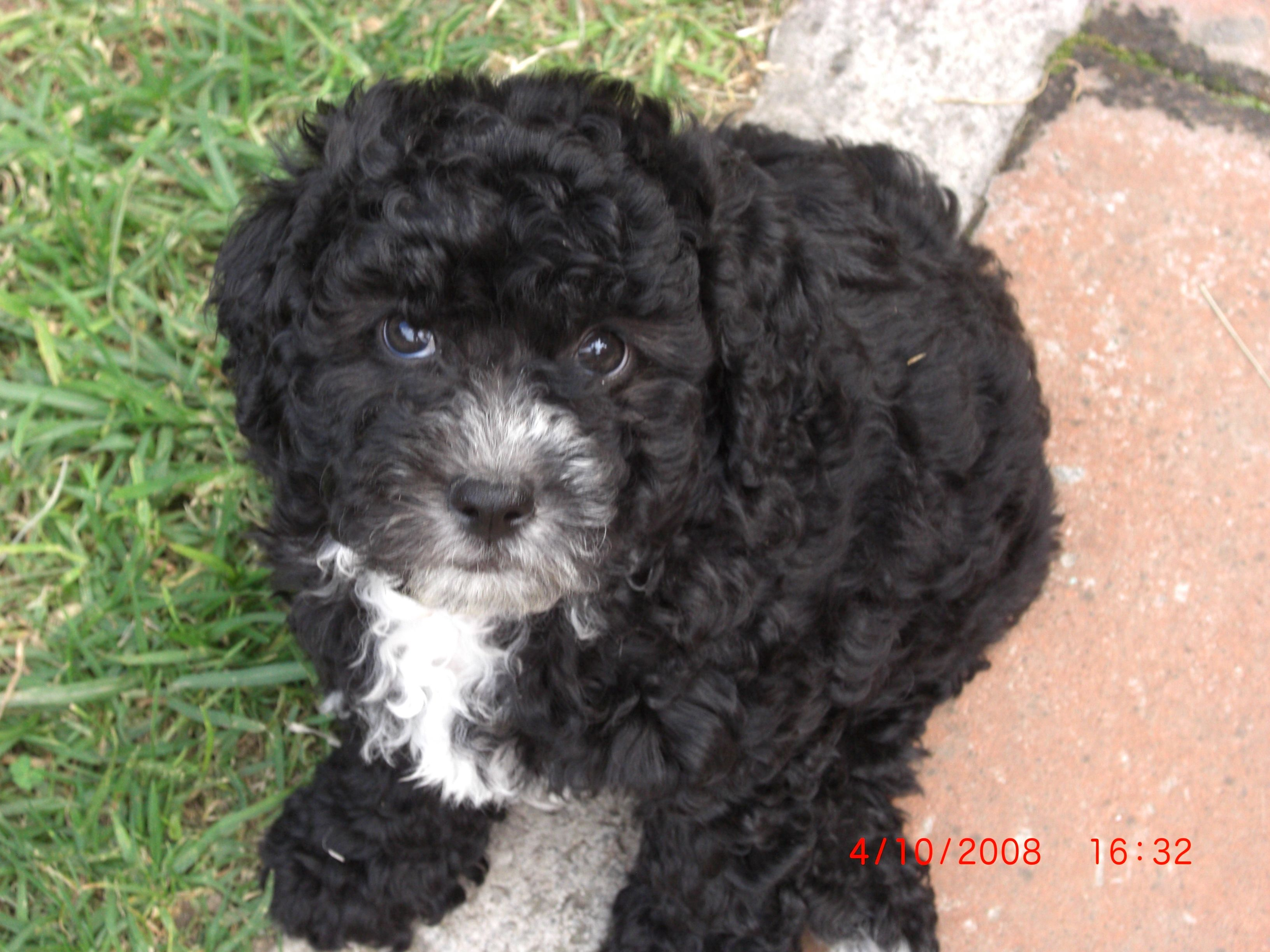 Black French Poodle Puppy Con Imagenes