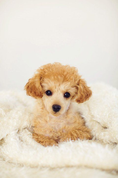 Lucille My Sweet Lil Poochie Apricot Toy Poodle Puppy Dogs