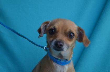 Meet Snook A 1 Year 7 Months Terrier Chihuahua Short Coat