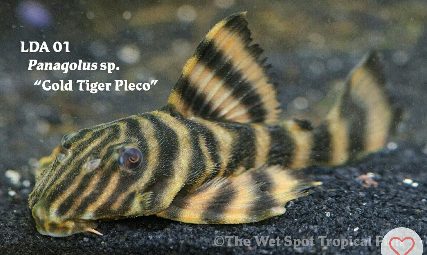 LDA01 Gold Tiger Pleco | Fishies | Live aquarium fish