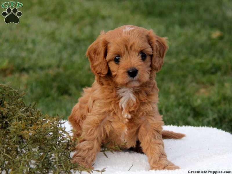 Brown Cavapoo Puppies   www.pixshark.com - Images ...