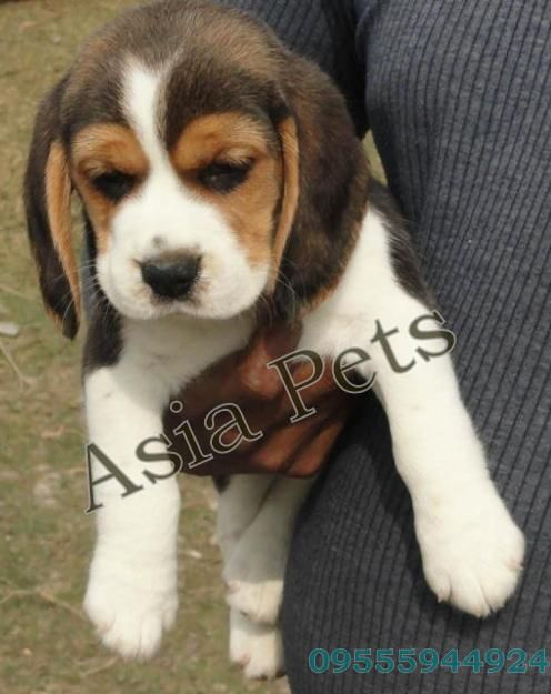 Beagle puppy for sale in Delhi Beagle puppy, Pitbull