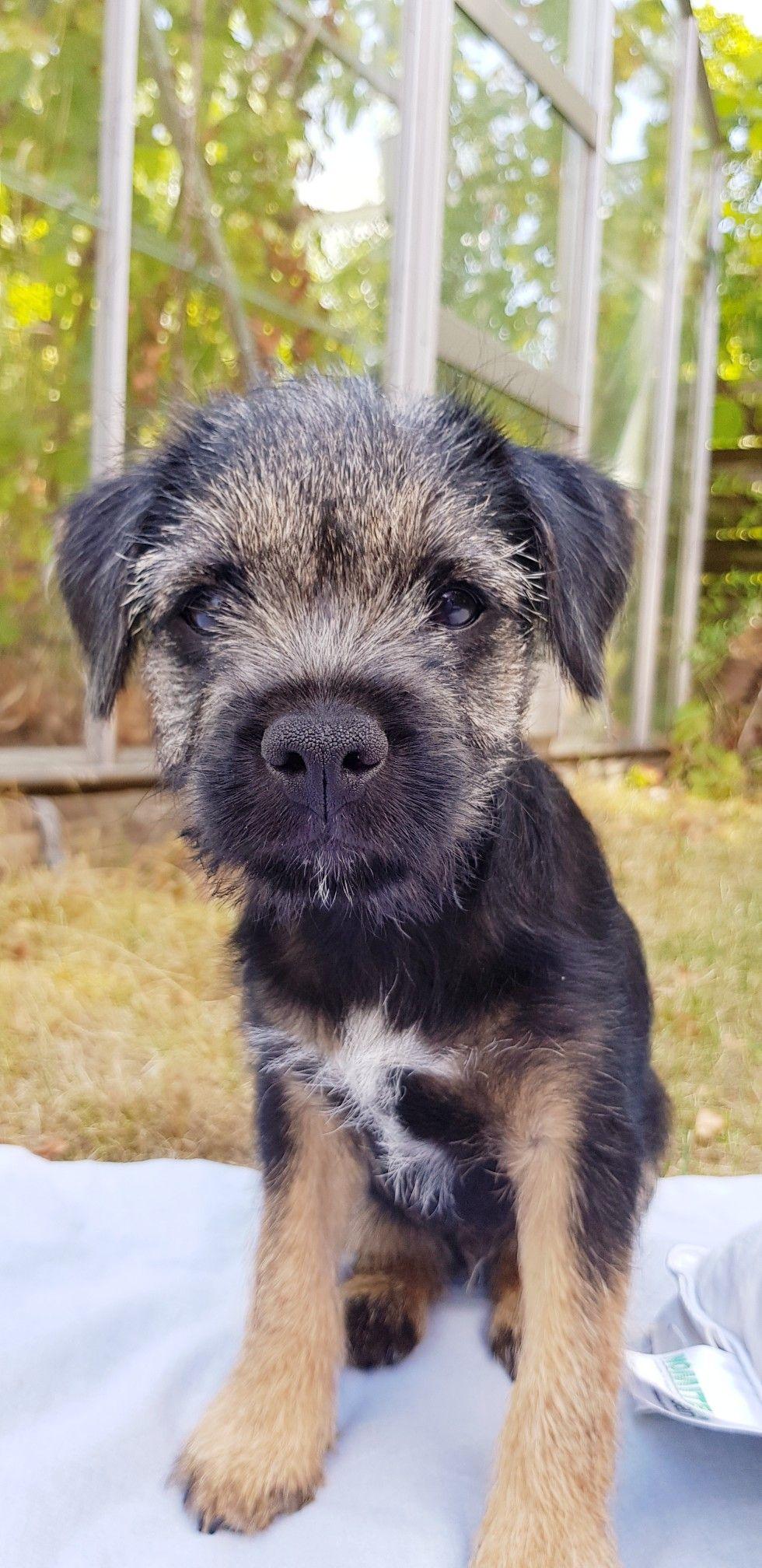 Border Terrier Puppy Osbourne 13 Weeks Old