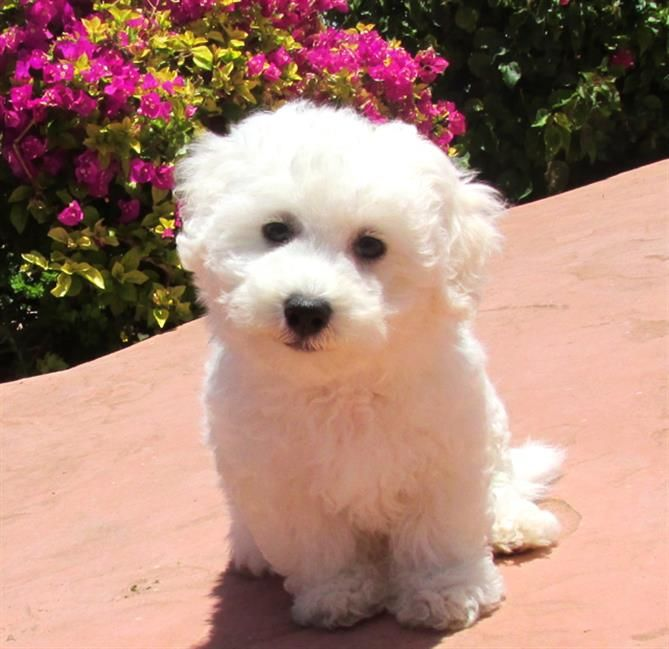 Teacup Bichon Frise Puppies Bichon Frise Male Puppy Named Legacy Bichon Frise Puppy Puppy Bichon Frise Puppy Teacup Bichon Frise Bichon