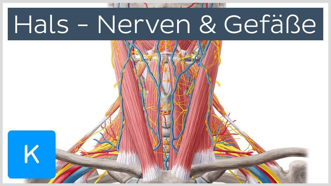 Das Video lehrt das Thema: Arterien, Venen, Nerven und Lymphknoten ...