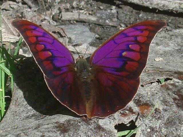 https://flic.kr/p/qDpQ8K | Polygrapha tyrianthina PERU abv CoR KG 7500' D