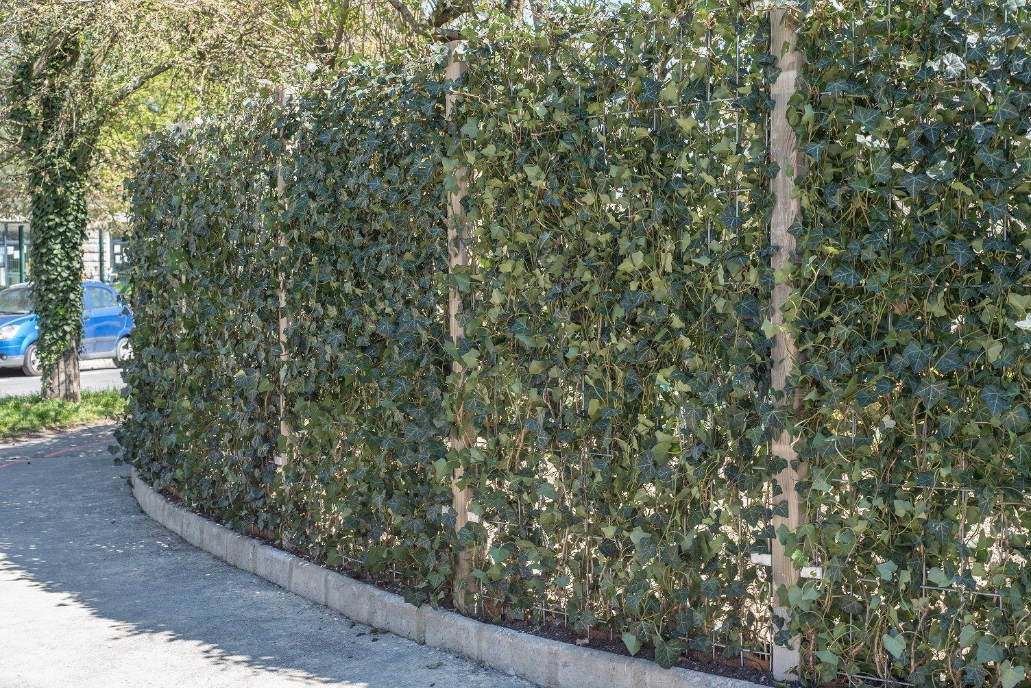 Brise Vue En Lierre clôture végétale en treillis soudés et poteau bois, servant