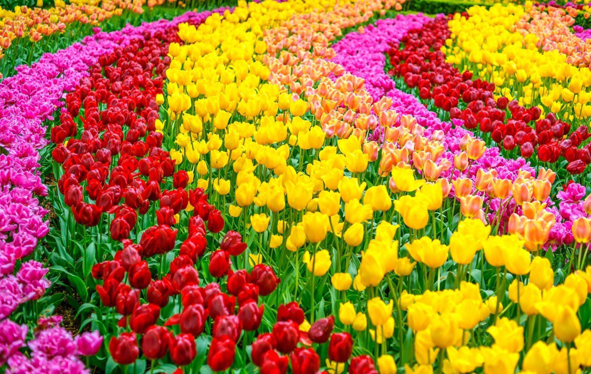 Campos de tulipanes en holanda buscar con google campos de tulipanes pinterest campos de - Jardines de tulipanes en holanda ...