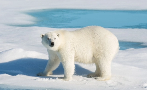Activists Who Use Polar Bears As A Symbol Of Climate Change Are Out Of Touch With Reality Polarbearscience Polar Bear Polar Bear Images Bear