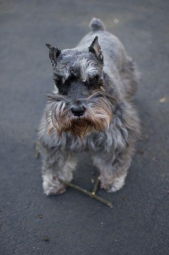 roxy_nj Schnauzer, Schnauzer puppy, Miniature schnauzer