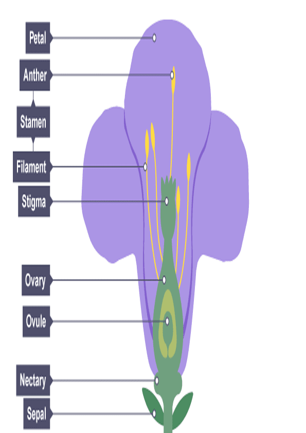 Partes De La Flor En Ingles Para Imprimir Parts Of A Flower Ovaries Petal