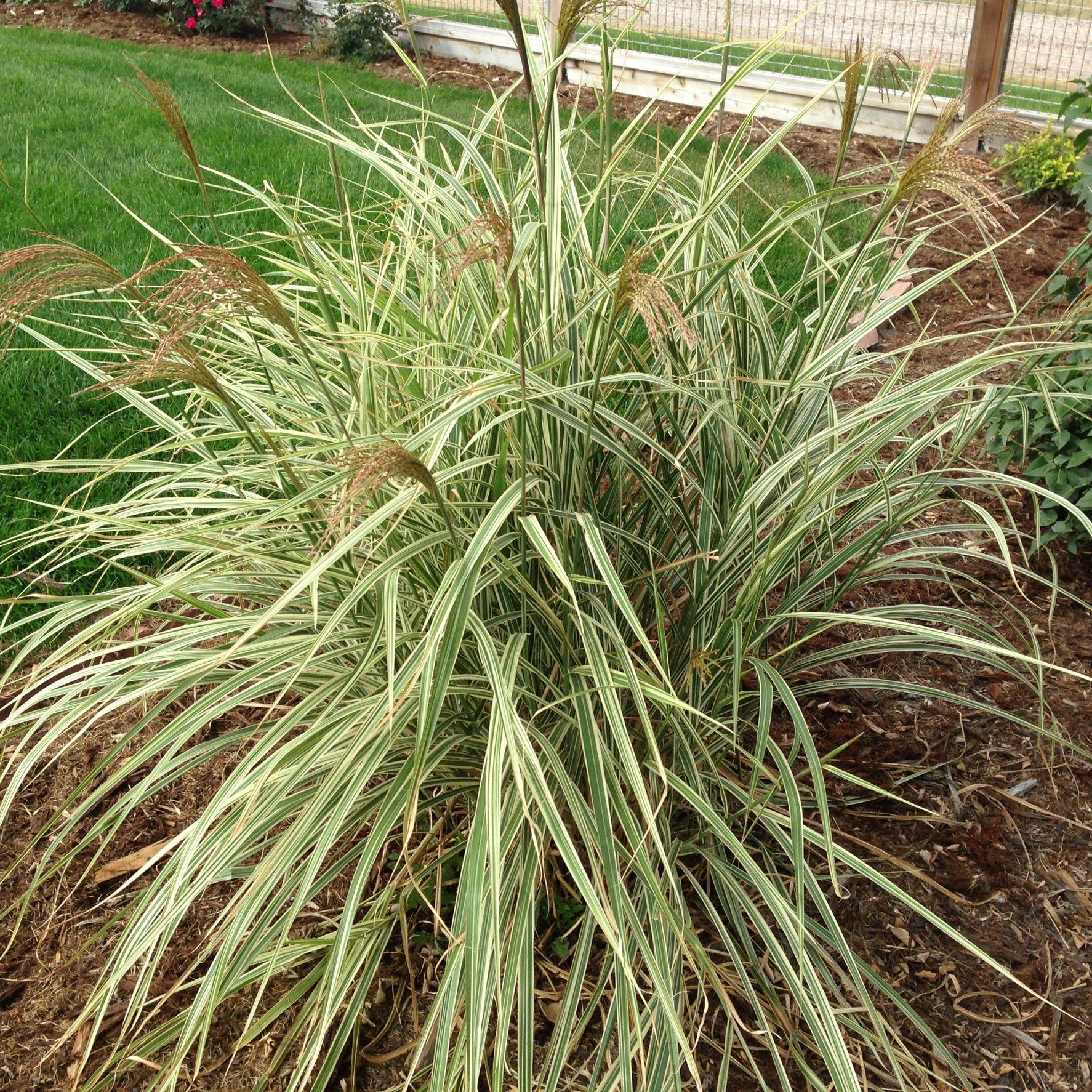 Glacier View Landscape And Design Inc Ornamental Grasses For Shade Colorado Landscape Ornamental Grasses