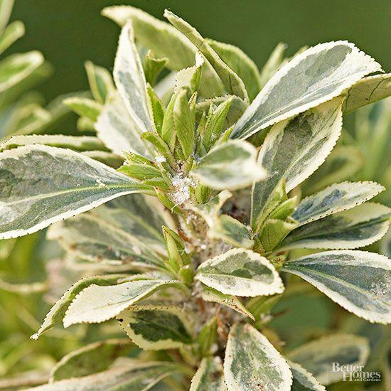 Arbustos para cultivo en sombra Arbustos, Sombras y Cultivar