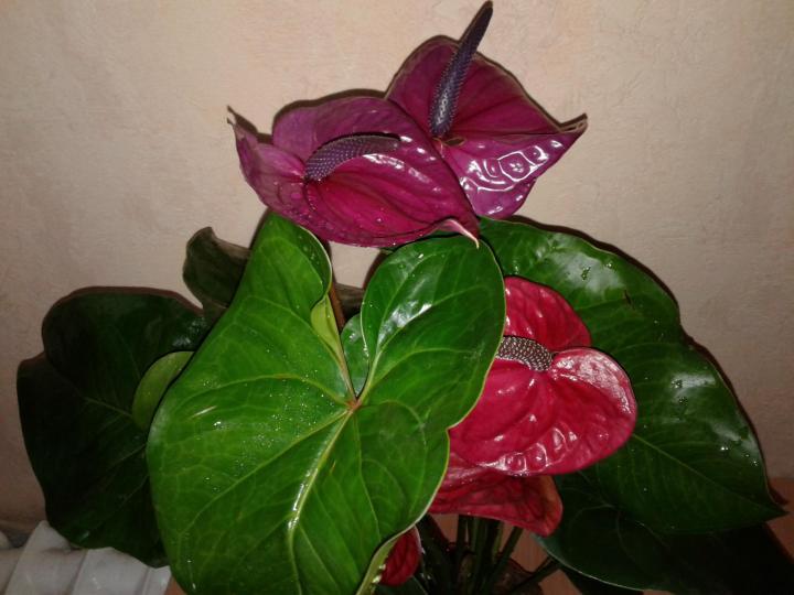 Антуриум Юта: описание, фото, уход и выращивание, болезни ...