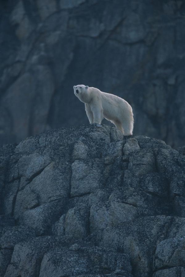 Polar bear on Rock, Spitsbergen, Norway    Wild Life Extra