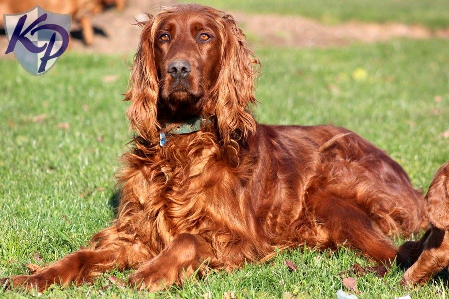 Irish Setter Puppies For Sale Dogs Irish Setter Puppies Dogs