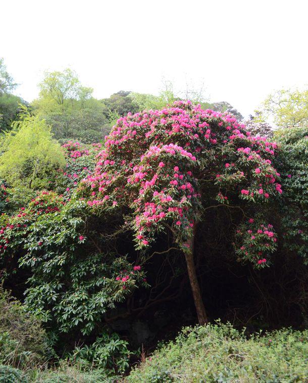 Rhododendrons in Deer Park, Howth, Ireland. Blooming this weekend!