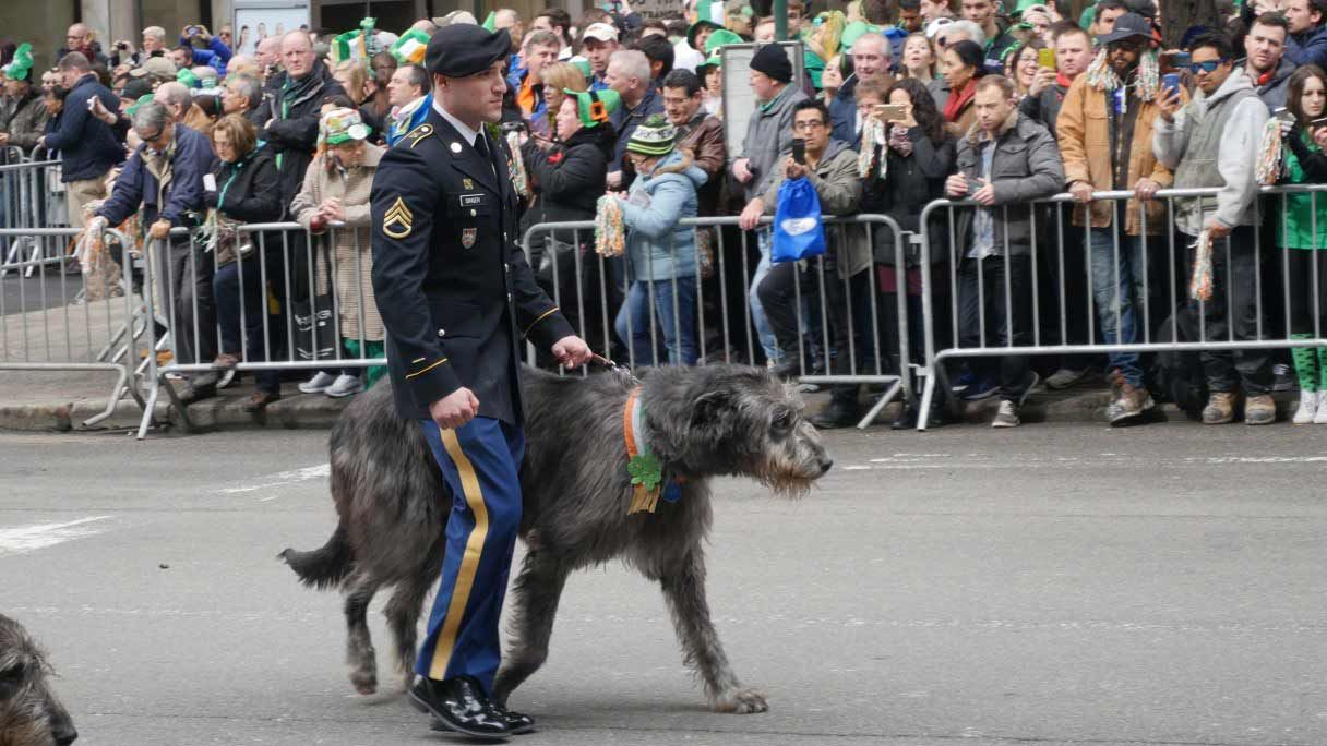 Wolfhounds Earn CGC in Wee Hours Before St. Pat's Parade ...