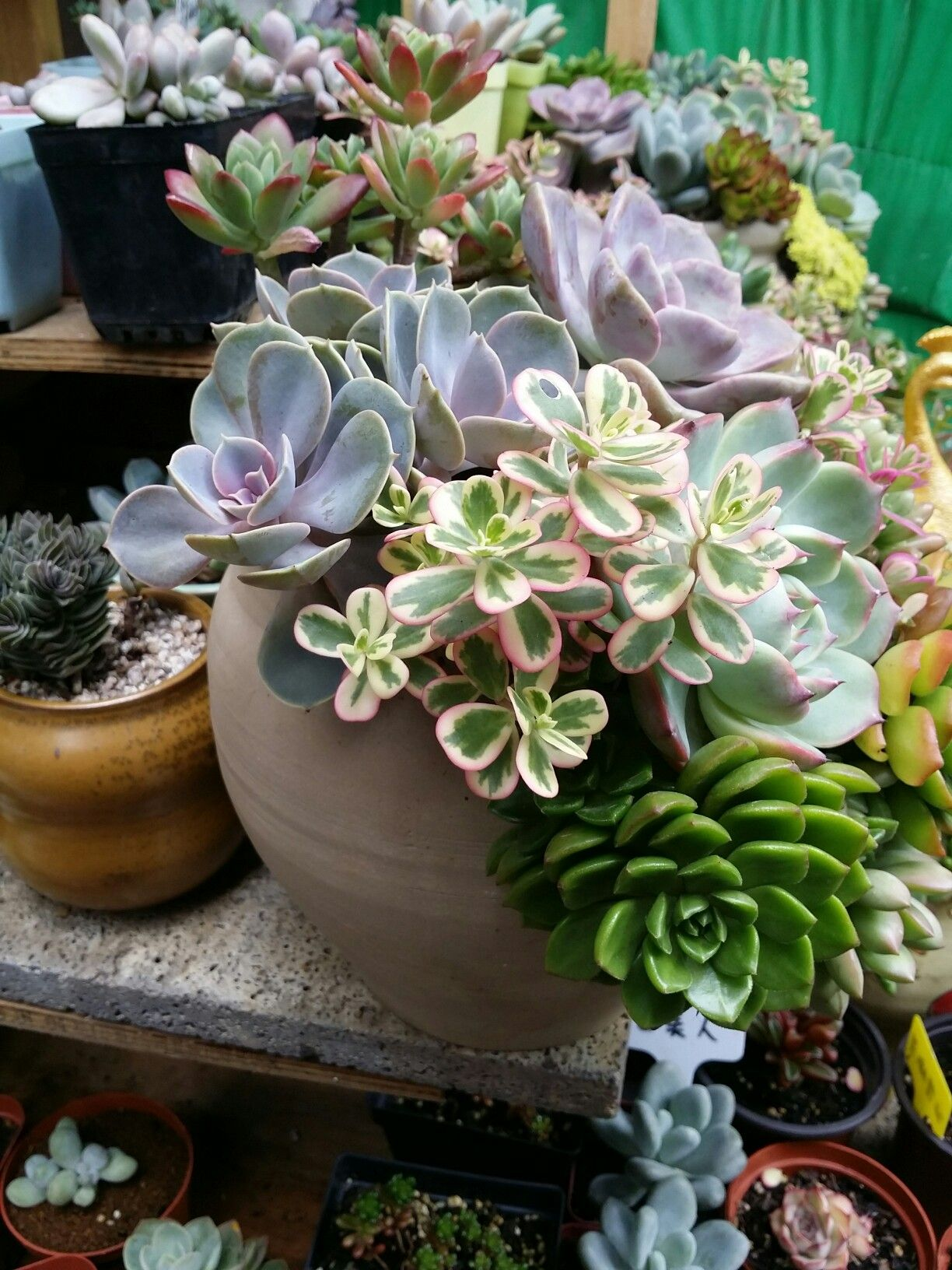 Pin by Johnstown Garden Centre on chinese planting