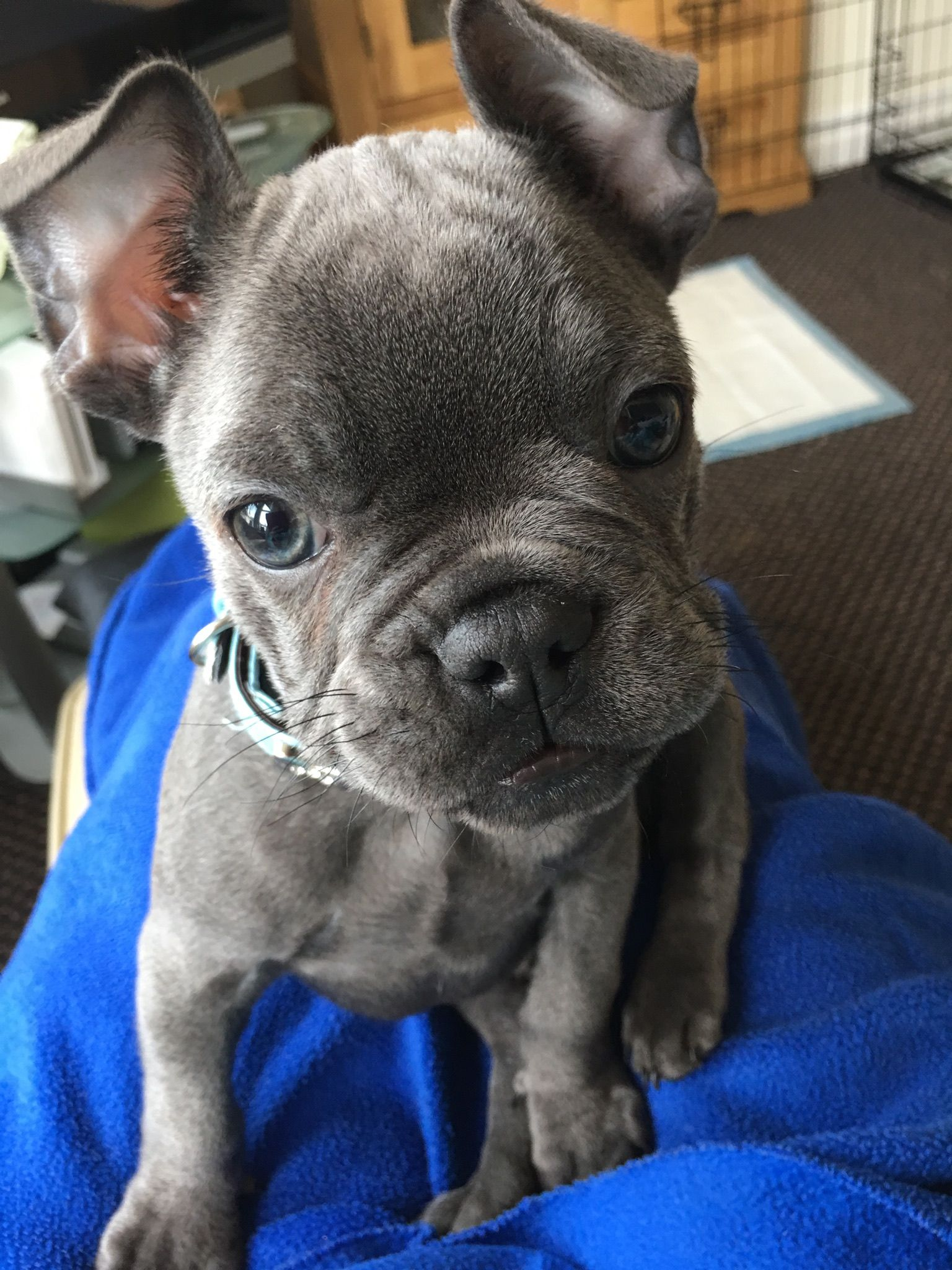 French Bulldog Puppy Ears Haven T Gone Up Yet French