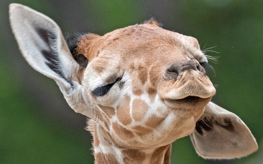 Корпоративные открытки, смешные жирафа картинки