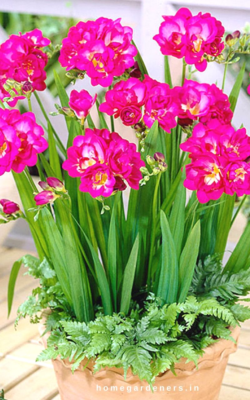Freesia Is An Herbaceous Perennial Flowering Plant In The Family Of Iridaceae Some Of These Species Grow As Orn Fragrant Flowers Flower Pots Container Flowers