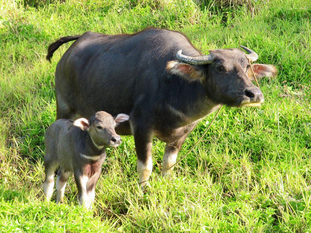 Carabao | Animals | Pinterest