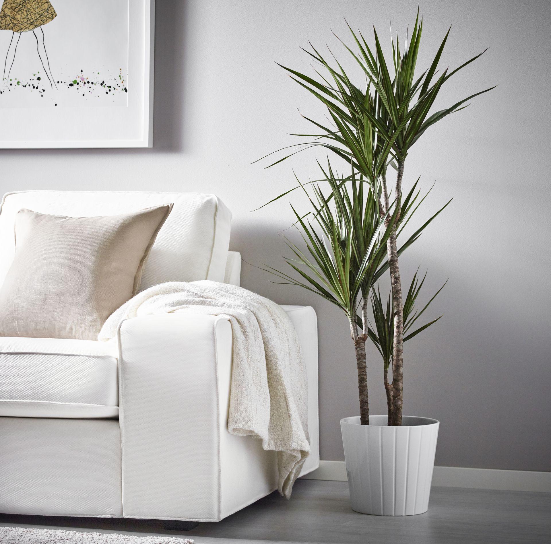 DRACAENA MARGINATA potplant | IKEA IKEAnl IKEAnederland inspiratie ...